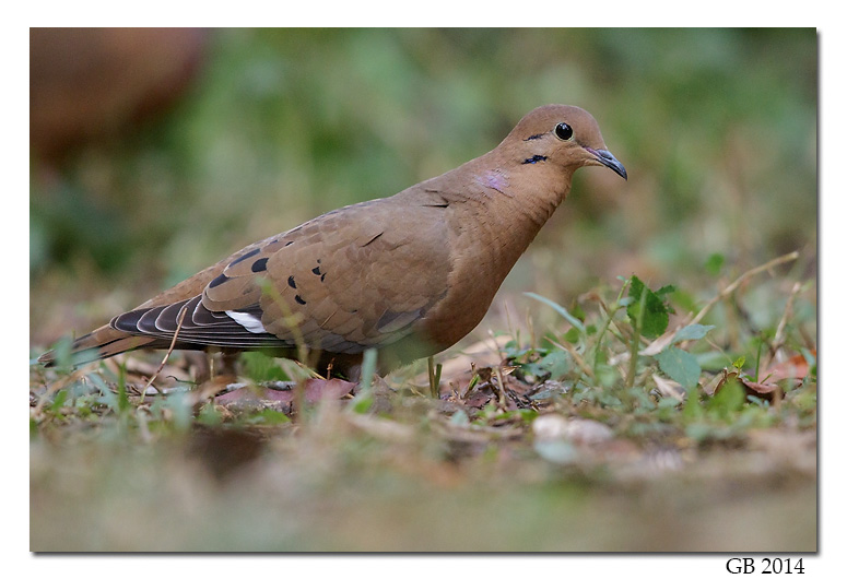 zenaida dove - photo #31