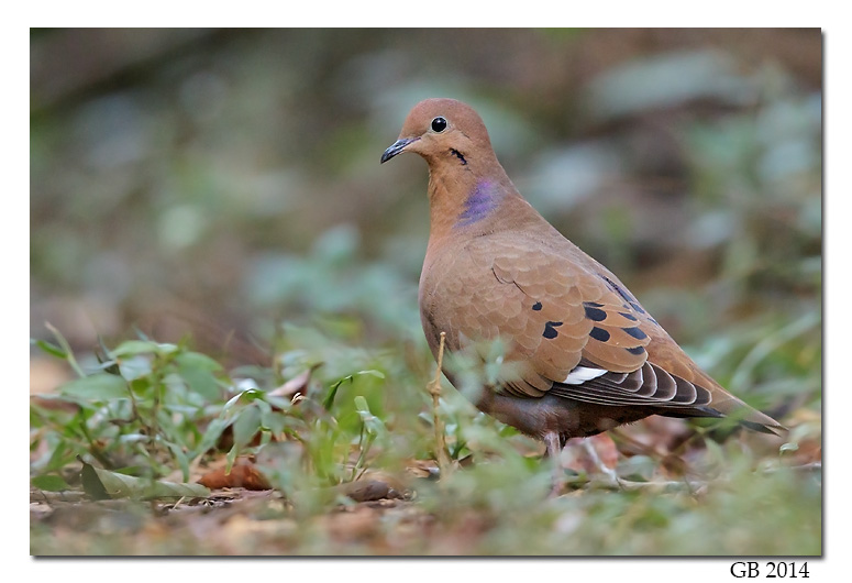 zenaida dove - photo #40